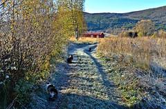 Frost (KvikneFoto) Tags: katt cat elvis bobkatt sta autumn hst fall natur kulturlandskap frost norge hedmark kvikne