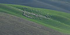 Sheep (hbothmann) Tags: cretesenesi toskana toscana tuscany schafe sheep
