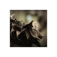 Relic (GP Camera) Tags: nikond80 nikonafsdx1855mmf3556gvr driedflower fioresecco sunflower girasole deadflower fioremorto petals petali macrophoto fotomacro macrodreams details dettagli textures trame depthoffield profonditdicampo focus messaafuoco bokeh sfocato softbackground sfondosoffice vignetting autumn autunno light luce shadows ombre lightandshadows lucieombre lighteffects effettidiluce squareformat formatoquadrato whiteframe cornicebianca italy italia piemonte monferrato sepia darktable gimp digitalprocessing elaborazionedigitale