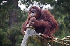 Surveying her domain (ucumari photography) Tags: ucumariphotography metrorichmondzoo richmond va virginia october 2016 orangutan animal mammal dsc4530 specanimal