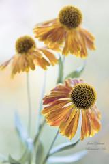 Autumn Amber (Jane Dibnah Botanical Art) Tags: helenium amber autumn floralart flowers macro