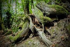 Sottobosco (erripollo) Tags: olympus bosco autunno radice pianta muschio natura mossy root wild moss wood tree nature