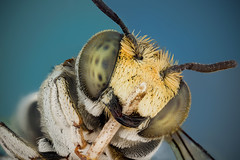 Cuckoo Bee (Can Tuner) Tags: can cantuner canon6d cantuncer canon closer macro makro macros micro macrophotography mitutoyo mikro microscop microscope tuner turkey trkiye turkiye tuncer izmir nature bug photo stack stacking studio