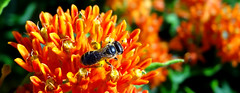 small black bee on butterflyweed (Martin LaBar) Tags: butterflyweed orange flowers asclepiastuberosa apocynaceae bee insect hymenoptera