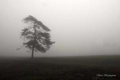 Lone Pine (sbuckinghamnj) Tags: fog tree garretmountain garretmountainreservation newjersey landscape