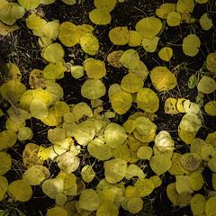 Aspen Forest Floor No. 4 - Tessa Trail (Mabry Campbell) Tags: 2016 carsonnationalforest h5d50c hasselblad houstonphotographer mabrycampbell nm newmexico october santafe santafecounty tessahorantrail tessatrail tesuquecreektrail usa unitedstatesofamerica aspens autumn commercialphotography fall fineart fineartphotography floor forest image intimatelandscape landscape leaves nature outdoors photo photograph photographer photography squarecrop yellow f71 october42016 20161004campbellb0000598 80mm sec 100 hc80 santafenationalforest
