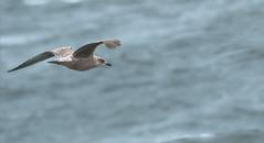 Gull (RestlessFiona) Tags: 27thseptember2016 gull sea skye scotland flying inflight birdseyeview restlessfiona