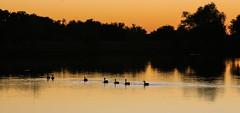 Geese in a Line (wyojones) Tags: texas wallercounty fieldstore road trees lake water sunset silhouttes reflection wyojones np