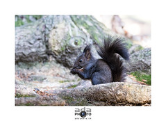 05122014-IMG_2297 (adaphoto.ch - Vincent Adamo) Tags: cureuil squirrel  eichhrnchen   scoiattolo