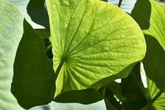 Fruchtstand der Lotosblume (bolliger51) Tags: boga blatt botanischergarten garten gegenlicht laubblatt licht lichtundschatten lotosblume lotosgewchse nelumbo nelumbonucifera nelumbonaceae schatten wasserpflanze peltat bern schweiz che