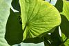 Fruchtstand der Lotosblume (bolliger51) Tags: boga blatt botanischergarten garten gegenlicht laubblatt licht lichtundschatten lotosblume lotosgewã¤chse nelumbo nelumbonucifera nelumbonaceae schatten wasserpflanze peltat bern schweiz che