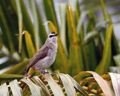 YVBUmataking_P1930090 (ParadiseBirding) Tags: borneosabahmalaysiabirdinggourdini yellowvented bulbul mataking semporna