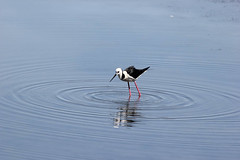 Black Winged Stilt -  Badu wetlands, Sydney Bicentennial Park (lookscloser) Tags: sydney bicentennial stilt badu