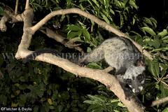 39816 Common Palm Civet (Paradoxurus hermaphroditus) in an urban garden in Ipoh, Perak, Malaysia. IUCN=Least Concern. (K Fletcher & D Baylis) Tags: animal fauna mammal wildlife arboreal urbanwildlife viverridae civet civetcat commonpalmcivet asianpalmcivet paradoxurushermaphroditus leastconcern night nocturnal garden ipoh perak malaysia asia cameratrap october2016