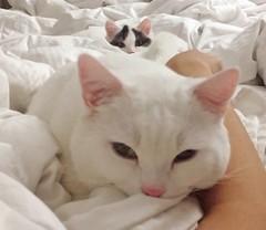 Double kneading #goboogi #chobee #munchkin #cat # # # # # # # # # # # # (Goboogi.Munchkin) Tags:     goboogi  munchkin  chobee  cat