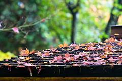 Little fun on the roof (EighteenPercentGray) Tags: green fall autumn portland japanese garden gardens tree leaf leaves canon 70200 7d t3i nature bokeh