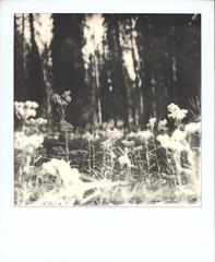 Forest Dreams (feedmyhungryeye) Tags: forest oregon mthood impossibleprojectfilm bw sx70 roidweekrejects roidweekouttake