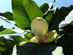 Magnolia delavayi Franch. 1889 (MAGNOLIACEAE) (helicongus) Tags: magnoliadelavayi magnolia magnoliaceae jardínbotánicodeiturraran spain