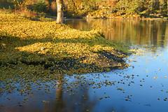 Fallen down (Mrs.Snowman) Tags: autumn leaves ålesund borgundgavlen norway westcoast sunshine november