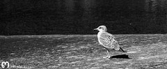 y a ti te saldrn las alas.. (ma_rohe) Tags: pajaro pajaros gaviota cudillero aves ave blackandwhite byn blancoynegro bnwcaptures sea mar