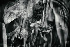 Ancestral 3 (pni) Tags: skeleton bone multiexposure multipleexposure tripleexposure museum thefinnishmuseumofnaturalhistory luonnontieteellinenkeskusmuseo naturhistoriskacentralmuseet luomus helsinki helsingfors finland suomi pekkanikrus skrubu pni museo