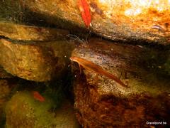 Lissotriton vulgaris in kleine zwemvijver (hugogravelpond) Tags: lissotriton vulgaris plungepool gravelpondbe sintlievenshoutem