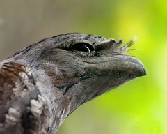 Tawny Frogmouth (Michael Aagaard Photography) Tags: australia australian d5200 darwin nikon nikond5200 northernterritory sigma animals outdoor outdoors dof depth field bird birds tawny frogmouth bokeh owl nocturnal iso reduction green brown