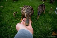 Hello Duck (Forty-9) Tags: campsite efs1785mmf456isusm feed forty9 chatsworth hand 2016 tuesday tomoskay feedingducks lightroom efslens canon bird eos60d 25102016 october 25thoctober2016 duck derbyshire wildlife mallard