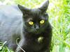 Kocio (arjuna_zbycho) Tags: blackcat tuxedo tuxedocat kater hauskatze cat animal cute animals pets gato kitten feline kitty kittens pet tier haustier katzen gattini gatto chat cats kocio