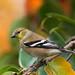 DSC_0448.jpg American Goldfinch, UCSC Farm