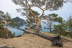 Pine grows even lying on the ground (Ivanov Andrey) Tags: hill slope sunset cliff tree pine pineforest forest larch conifer trunk stone boulder bark treeroot descend climb branch moss grass bush sky sand river beach orange sun evening landscape ascent descent shadow nature travel tourism lakebaikal russia