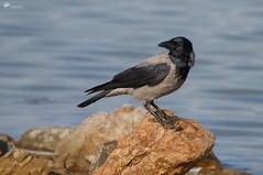 ...quel che resta di un topo (Rob McFrey) Tags: cornacchia corvuscorone topo santagilla natura fauna avifauna sardegna