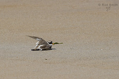 Ringed Plover feigning injury (roderick smith) Tags: ringedplover charadriushiaticula beadnellbeach northumberland shorebird wadingbird canon eos550d ef100400mmlismkii