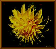 Last Dahlia-Dernier dahlia (Huguette T.) Tags: automne chrysanthme mum coth5 dahlia