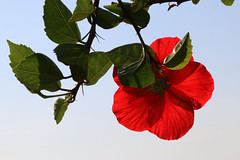 Against the Sky (gripspix (OFF)) Tags: red plant rot nature germany deutschland blossom natur pflanze hibiscus baden blte hibiskus kaiserstuhl blankenhornsberg staatsweingut 20150823