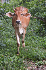 wild-cow-about-to-charge (prem swaroop) Tags: family b order name kingdom class species taurus bos bovidae bovinae animalia mammalia genus chordata eutheria phylum artiodactyla subfamily binomial theria subclass infraclass