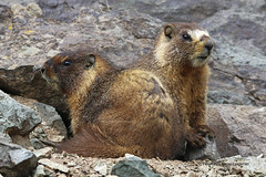 Marmots (From The High Country) Tags: wild colorado wildlife marmot marmots wildlifenorthamerica wildlifephotography fromthehighcountry