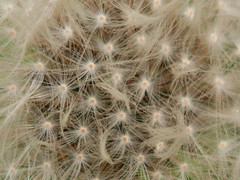 Seedheads and seed pods - 6 (Jackie & Dennis) Tags: september seedpods challenge seedheads 2015 shootaboot