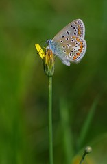 argus bleu - Azuré de la bugrane - Azuré commun (Polyommatus icarus) - Drôme. Ici une femelle (merci wiki) https://fr.wikipedia.org/wiki/Argus_bleu (zabou256 aussi sur Ipernity) Tags: papillon nature butterfly schmetterling insecte insect insekt vert green grüne pentax k30
