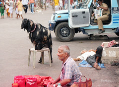THE FAMOUS GOAT OF KALIGHAT TEMPLE (pathikdebmallik) Tags: old india newspaper chair police goat streetlife oldman vehicle kolkata oldage wondergoat calcutta vermillion streetphotographs kalighat kneeldown streetsofkolkata kalighattemple