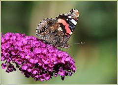 Red Admiral (jenny*jones) Tags: macro canon redadmiral lepidoptera westyorkshire naturephotography vanessaatalanta 9084 budleja brushfootedbutterfly sept2015