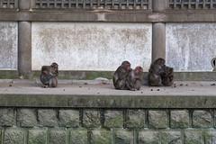 Takasakiyama Monkey Park, Oita, Kyushu, Japan 高崎山モンキーパーク (silkylemur) Tags: mountain japan monkey macaco fullframe canoneos animalia mammalia saru oita さる kyushu primates サル 6d snowmonkey 九州 japanesemacaque monkeypark takasakiyama japanesemonkey 猿 macaca chordata mounttakasaki macacafuscata キャノン cercopithecidae ニホンザル efmount nihonzaru マカク属 canon6d oitaprefecture 일본원숭이 японский サル目 canoneos6d 哺乳綱 macacojaponés macacogiapponese macacodecararoja オナガザル科 макак ホンドザル японскиймакак ลิงกังญี่ปุ่น khỉnhậtbản キャノンレンズ efマウント efマウントレンズ キヤノンeos6d مكاكيابانيמקוקיפני