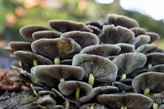 Clingendael (www.margosmit.com) Tags: autumn herfst denhaag bos paddestoel paddestoelen clingendael canoneos100d canon40mm28