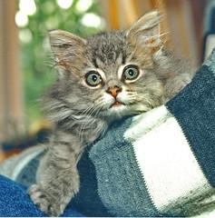 00379 (d_fust) Tags: cat kitten gato katze 猫 macska gatto fust kedi 貓 anak katt gatito kissa kätzchen gattino kucing 小貓 고양이 katje кот γάτα γατάκι แมว yavrusu 仔猫 का बिल्ली बच्चा
