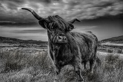 B/W Highland Cow (gbird521) Tags: pictures canon point scotland landscapes cow highlands skies alba scottish stormy images highland 7d sutherland crofting hdr moorland strathy