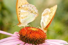 Schmetterlinge 100 (rgr_944) Tags: macro butterfly tiere natur pflanzen blumen papillon insekten schmetterling canoneos60dcanoneos70d rgr944