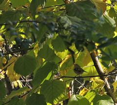 roitelet en feuilles (laetitiablabla) Tags: world france tree bird nature animal automne photography leaf fantastic burgundy magic awesome group bourgogne arbre oiseau avian feuille yonne huppe roitelet