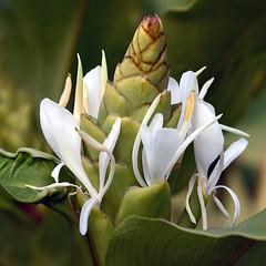 Hedychium (Zeldenrust) Tags: bloem flower blume fleur flor flora hendrikvanzeldenrust vanzeldenrust zeldenrust natuurfotografie naturephotography flowerphotography hedychium gingerlily siergember