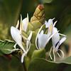 Hedychium (Hendrik van Zeldenrust) Tags: bloem flower blume fleur flor flora hendrikvanzeldenrust vanzeldenrust zeldenrust natuurfotografie naturephotography flowerphotography hedychium gingerlily siergember flore