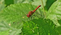 Blutrote Heidelibelle, Sympetrum sanguineum (staretschek) Tags: mnnchen heidelibelle blutroteheidelibelle segellibelle rotelibelle groslibelle sympetrumsanguinineum